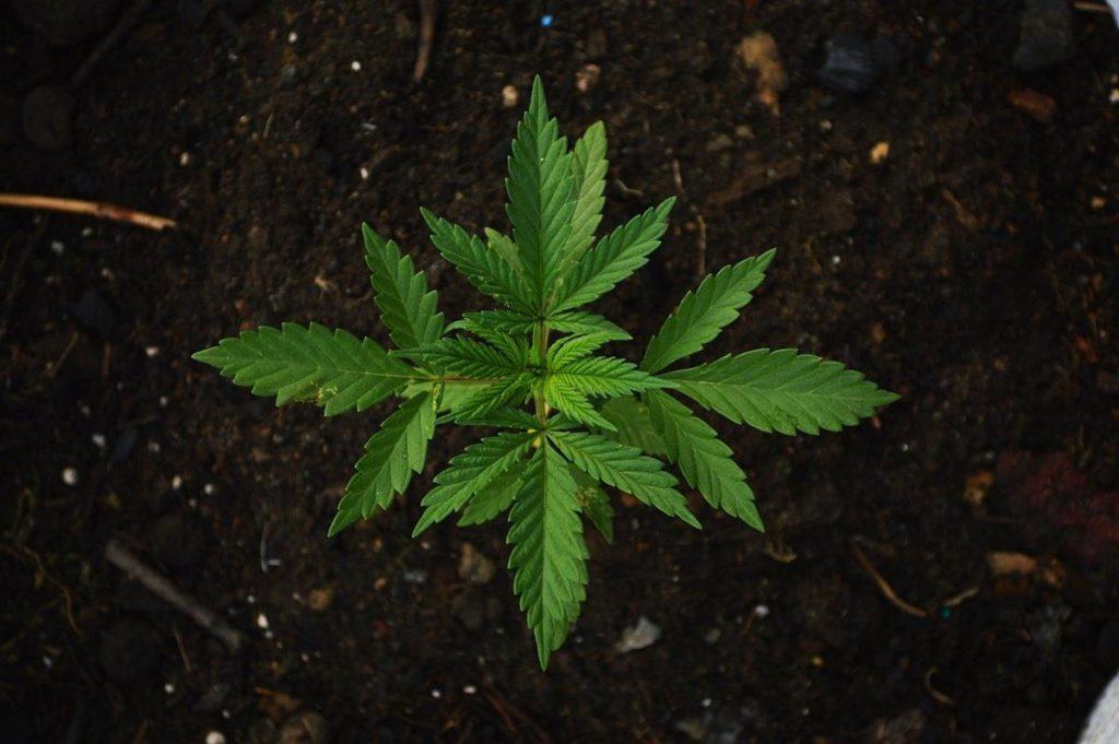 Czy uprawialiście już kiedyś marihuanę odmiany shaman?