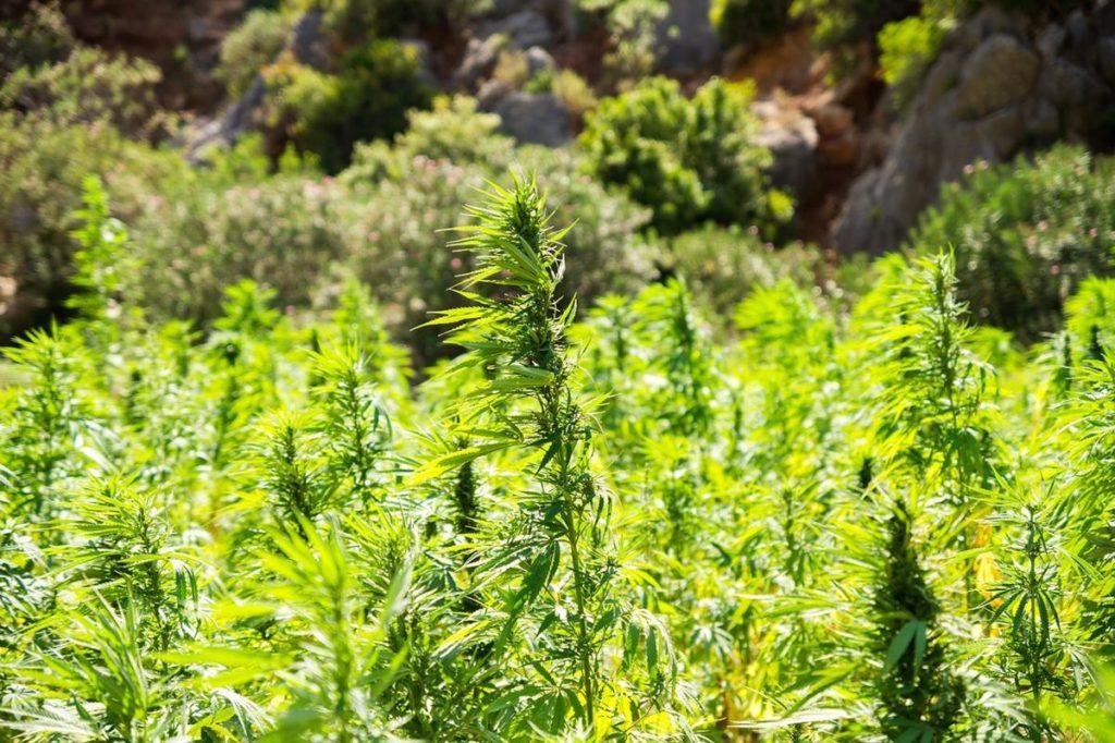 Jak stworzyć przyjazne warunki do uprawy marihuany?